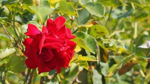 Foto profissional grátis de flor vermelha, flores