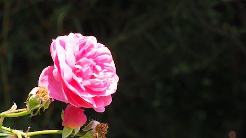 Foto profissional grátis de flor cor-de-rosa, flor rosa