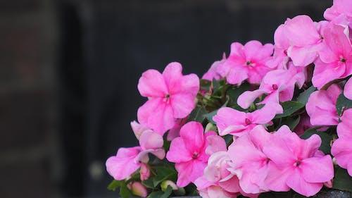 Základová fotografie zdarma na téma růžové květiny