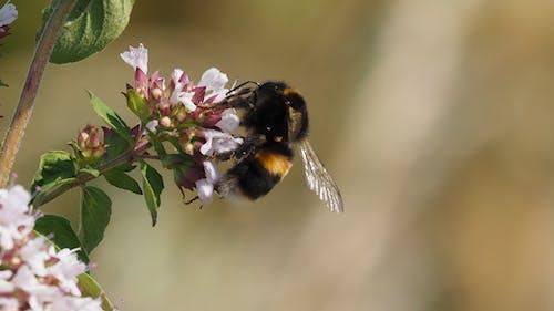 Foto profissional grátis de abelha