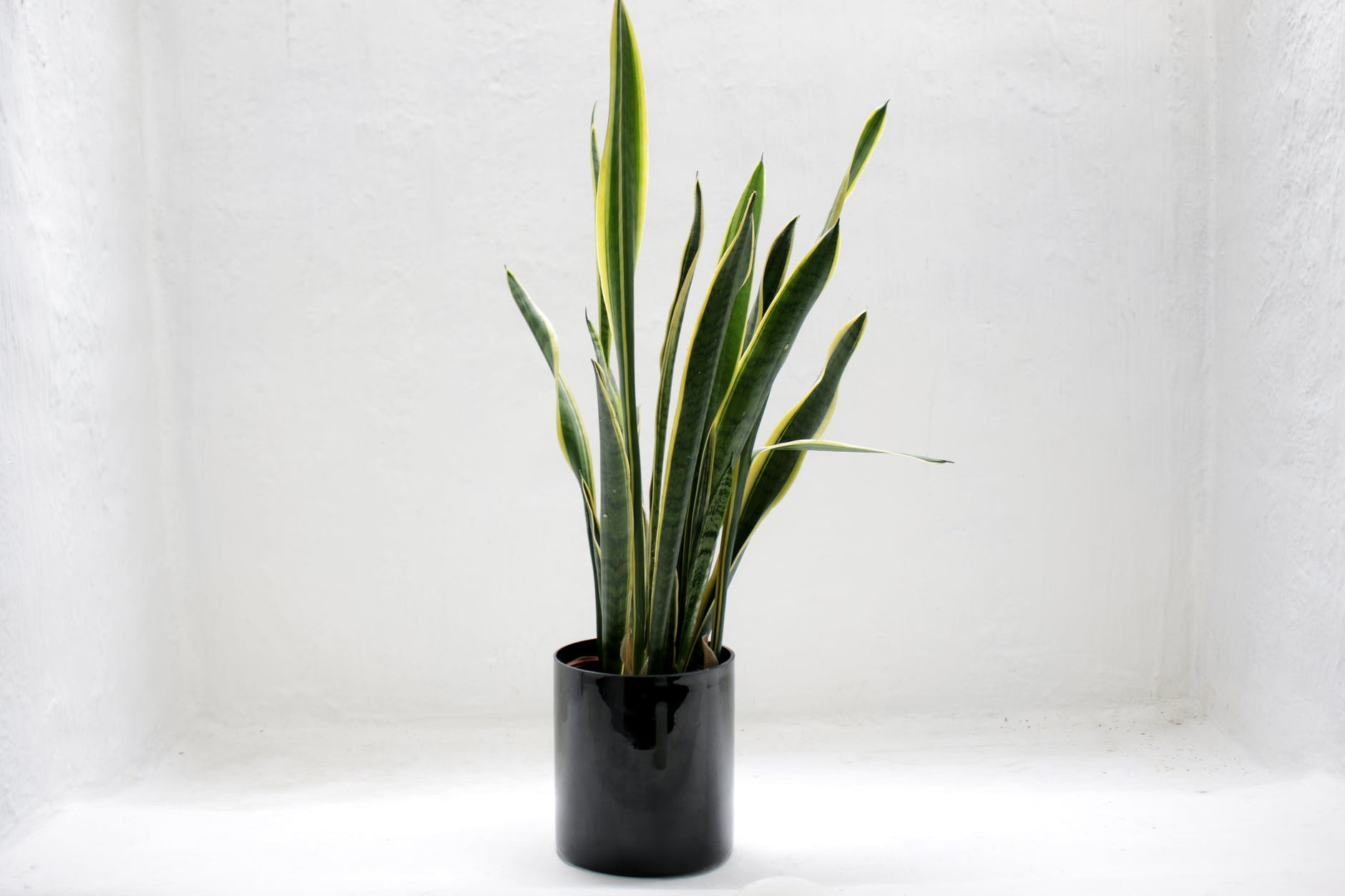 best low light indoor plants - snake grass