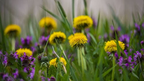Free stock photo of beauty in nature, bee, dandelion, grass