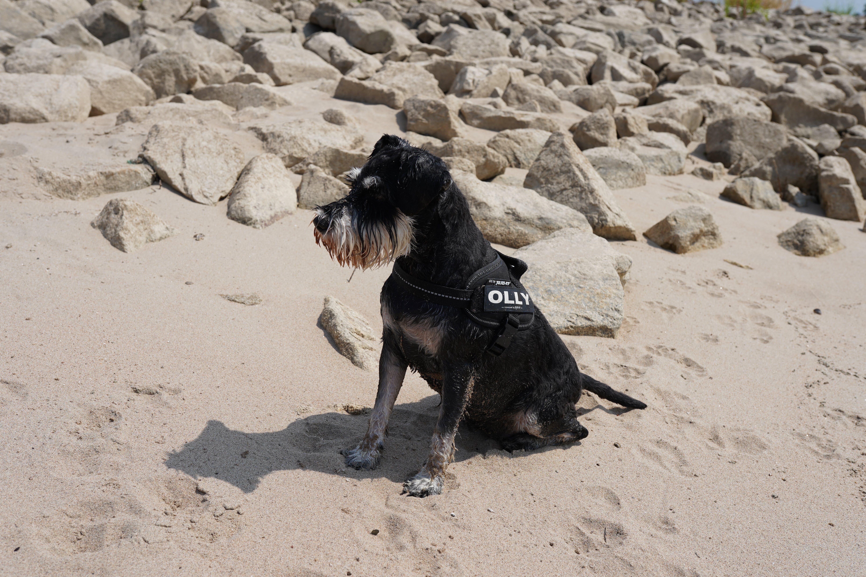Free stock photo of beach, dog, schnauzer