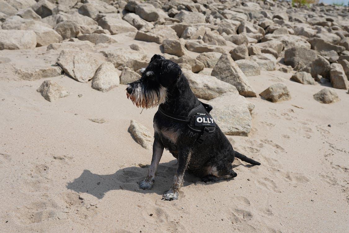 beach, dog, schnauzer