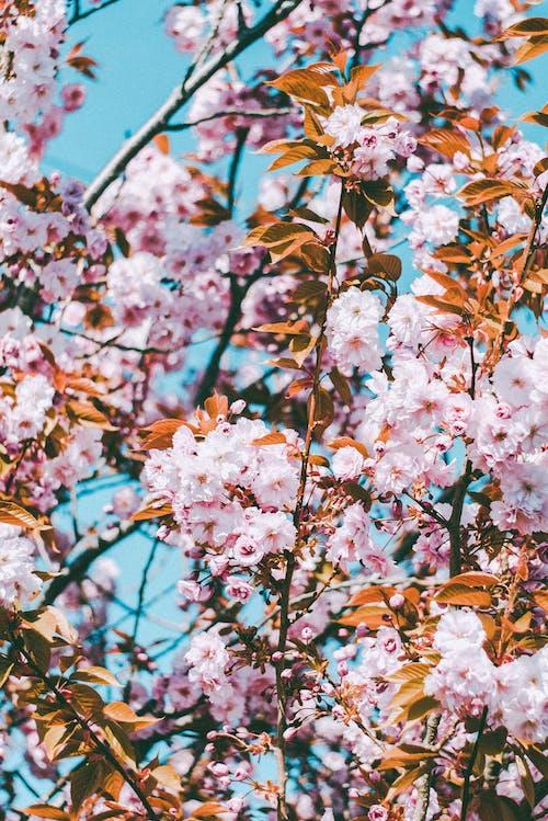 Ingyenes stockfotó 4k-háttérkép, cseresznyevirág, finom, fókusz témában