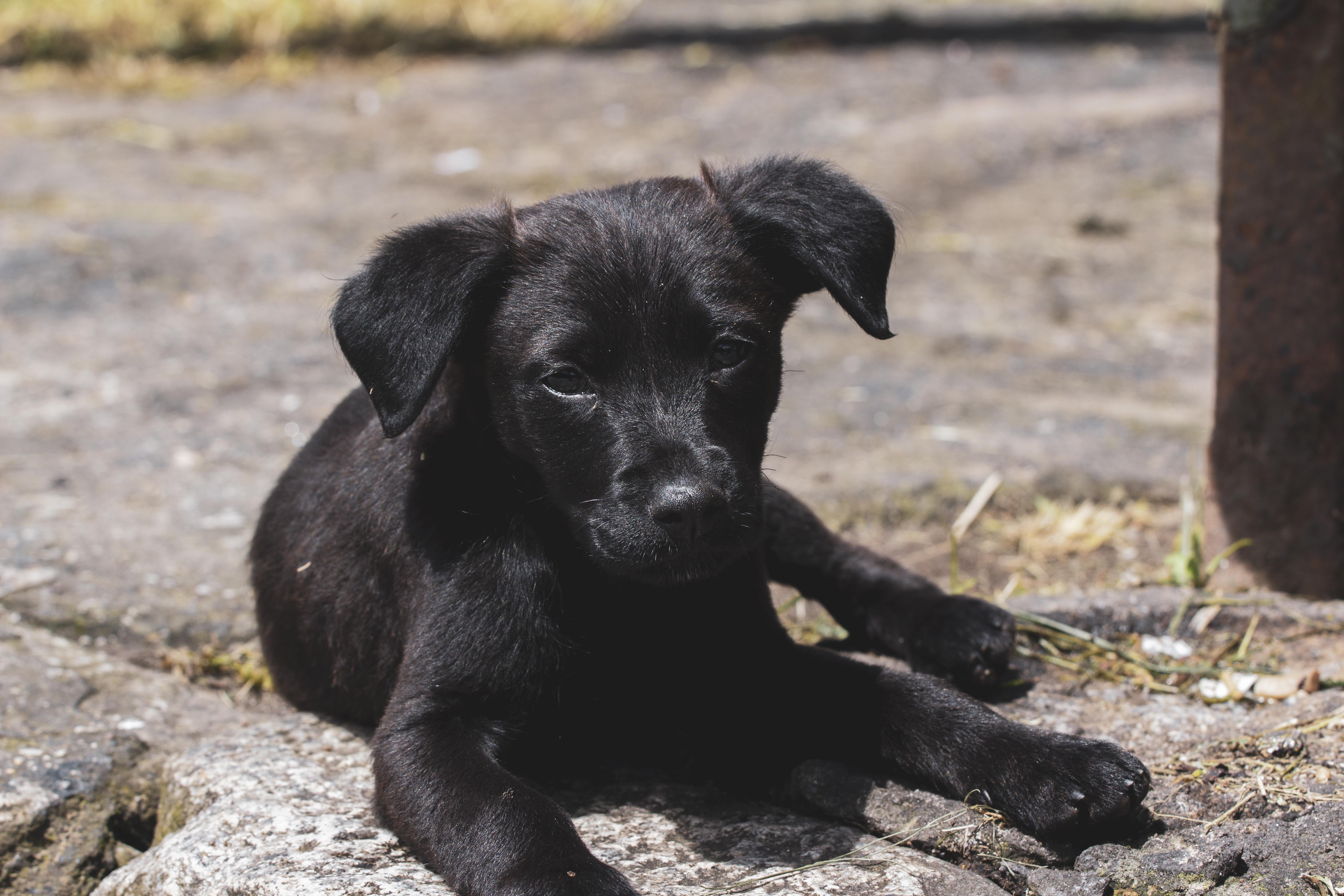 Short-coated Black Puppy Lying on Ground