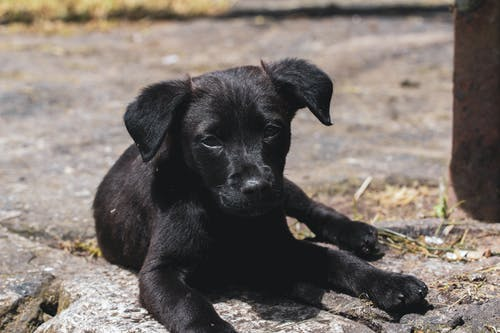 Short-coated Black Puppy Lying on Ground