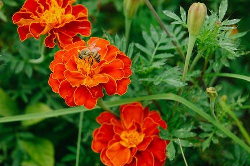 Darmowe zdjęcie z galerii z kwiat, liść, natura, pszczoła