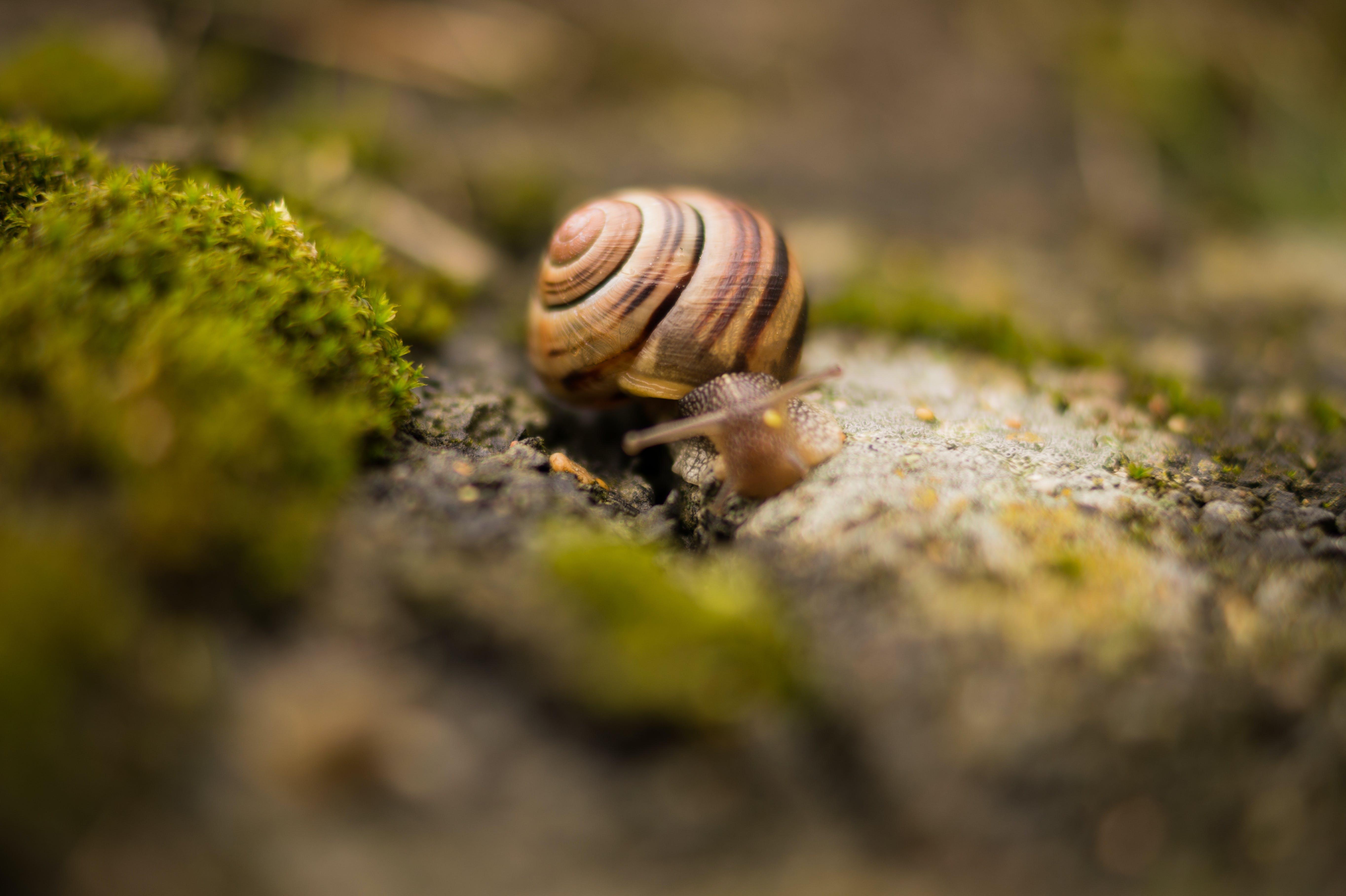 Brown Snail