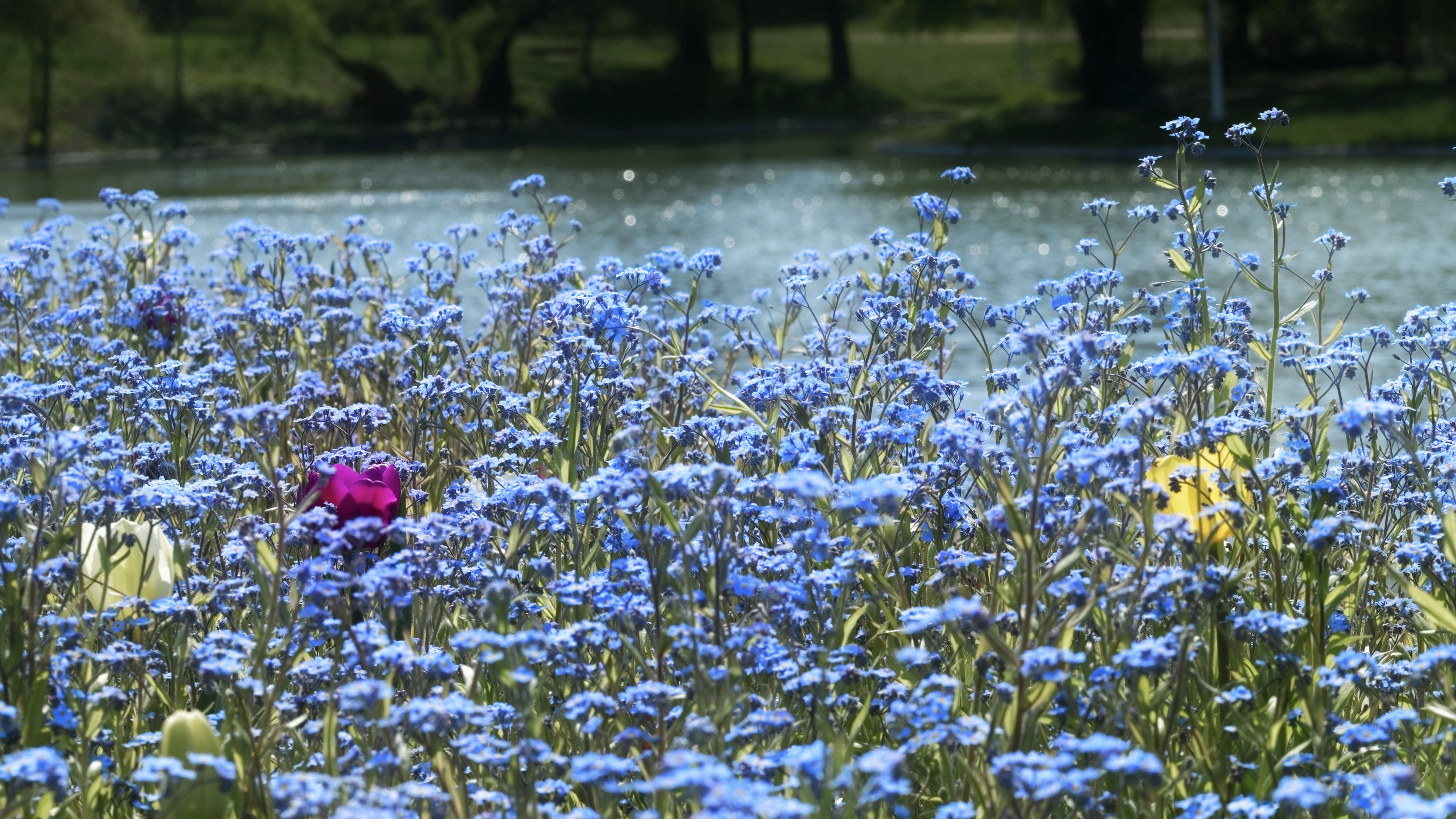 Kostenloses Stock Foto zu bäume, blau, blauen blüten, blumen