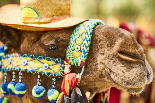 Close-Up Photo of Camel Wearing Straw Hat