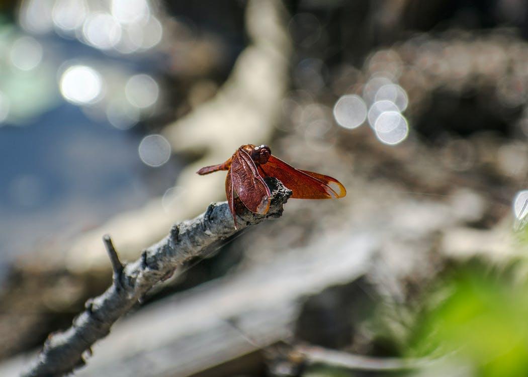 dragonfly wing, dyrefotografering, guldsmed