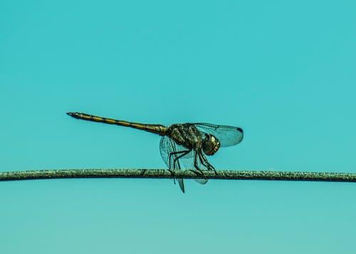 Gratis lagerfoto af dragonfly wing, dyrefotografering, guldsmed, insekt