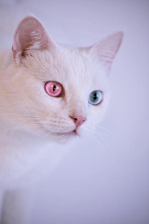 biały kot, ciekawość, domowy