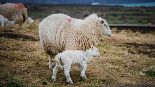 Photo of Mother Sheep and Lamb on Field