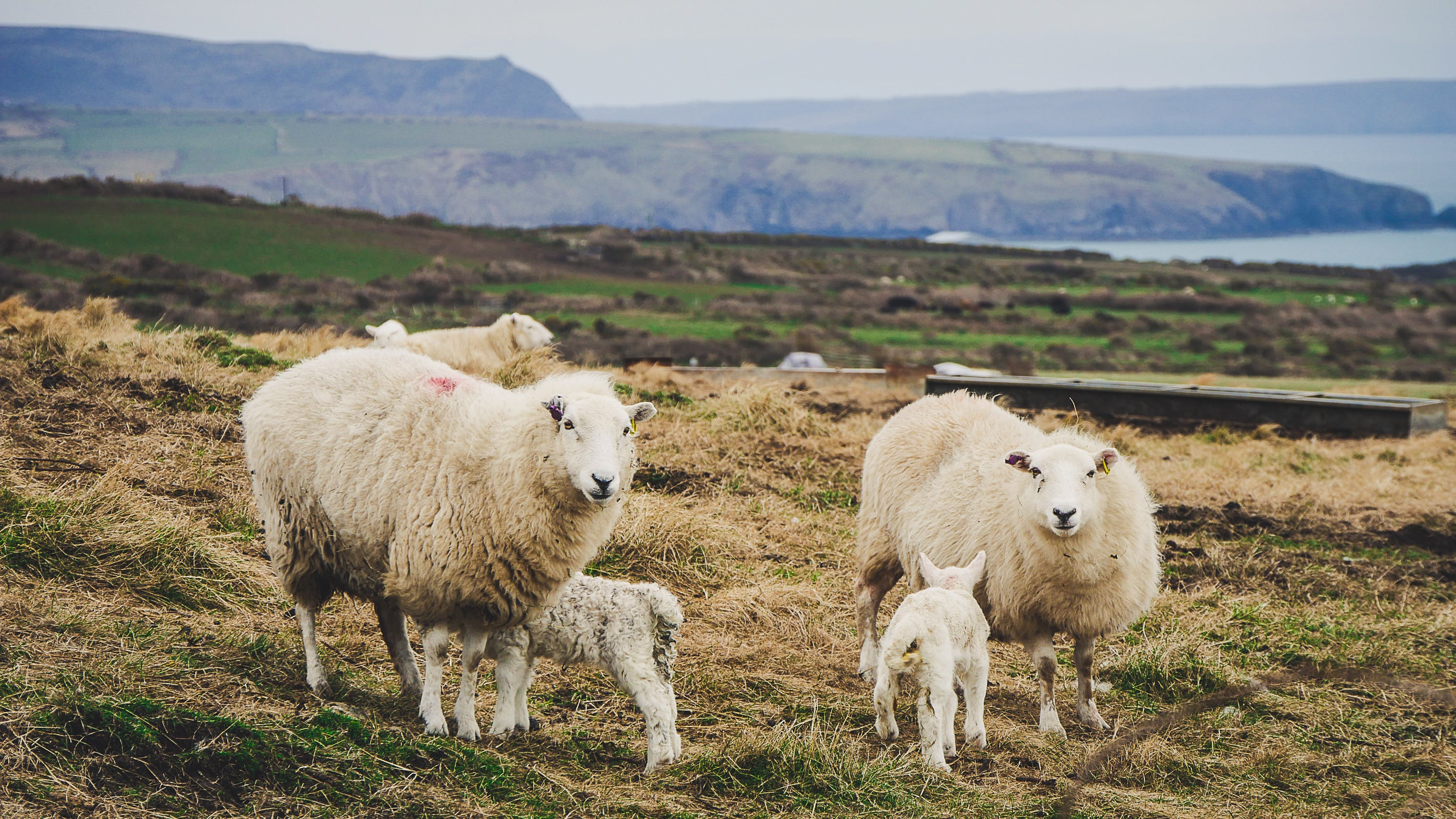 Photo of Mother Sheep and Their Lambs on a Field