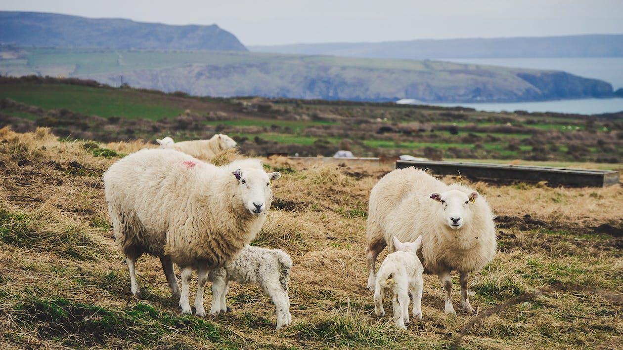 Clasificación-animales-de-granja