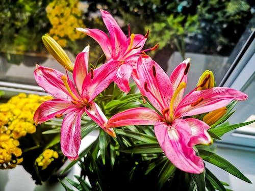 Ingyenes stockfotó cserepes növény, élet, fényes, gyönyörű virág témában