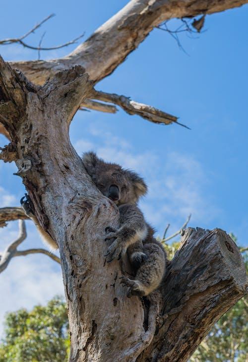 Fotobanka sbezplatnými fotkami na tému Austrália, bábätko, divočina, koala