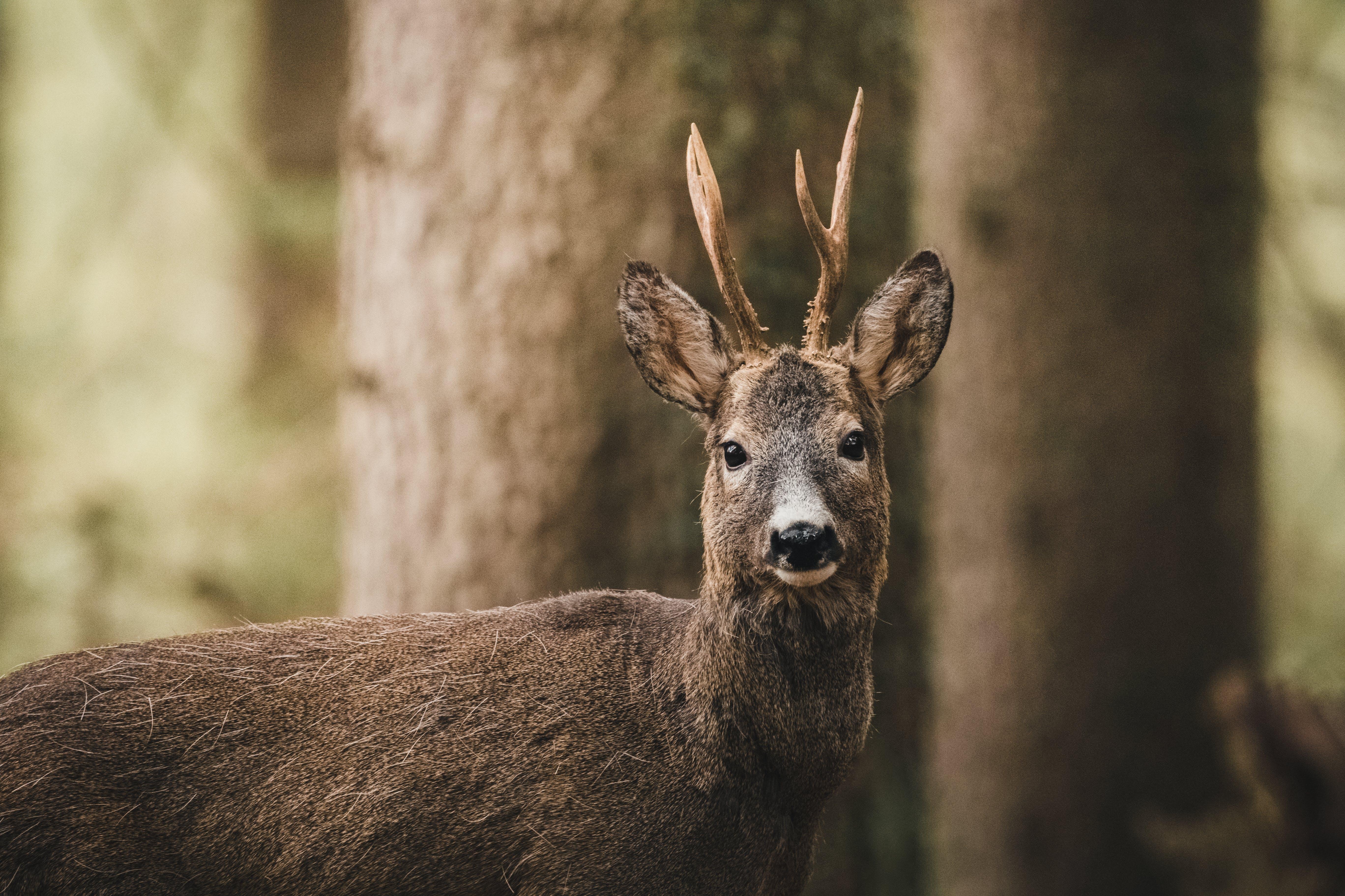 açık hava, boynuz, geyik, hayvan içeren Ücretsiz stok fotoğraf