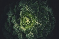 cabbage, plant, leaves