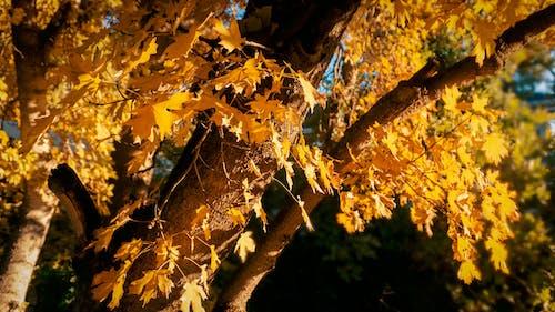 木, 秋, 色落ちの無料の写真素材