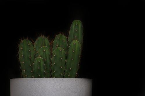 Kostenloses Stock Foto zu blumen, kaktus, kaktus pflanze, natur