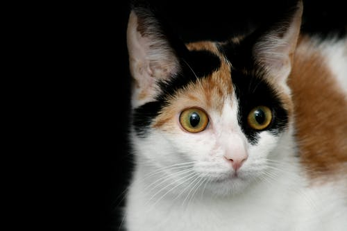 Ilmainen kuvapankkikuva tunnisteilla 3 väriä, aniaml, eläin, kissa