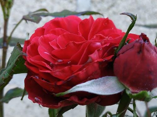 Ilmainen kuvapankkikuva tunnisteilla kukat, kukka, punainen ruusu, ruusunkukka