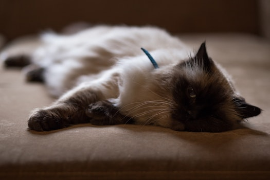 Persian Cat Lying on Bed