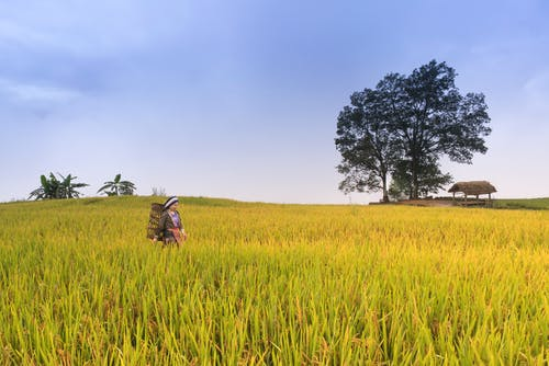 Woman Surrounded by Rice Field