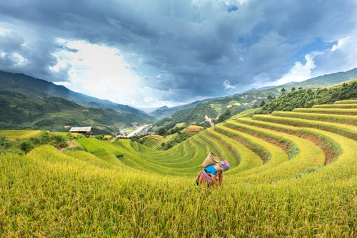 Woman Carrying Brown Basket Surrounded By Rice Field