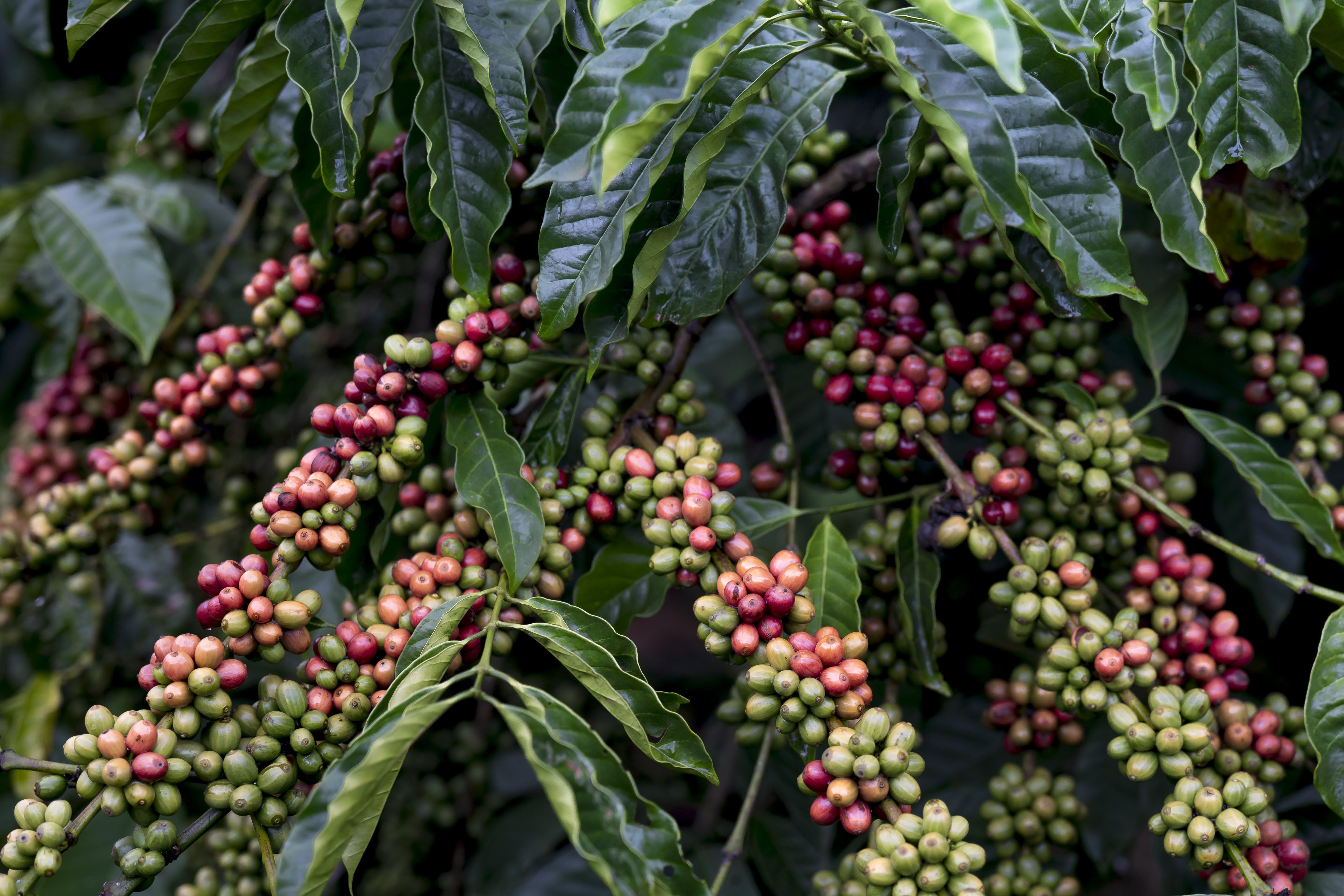 Foto stok gratis agrikultura, Arabika, beri, buah