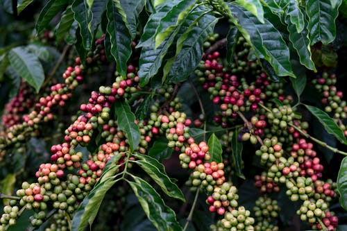 Red and Green Coffee Fruits