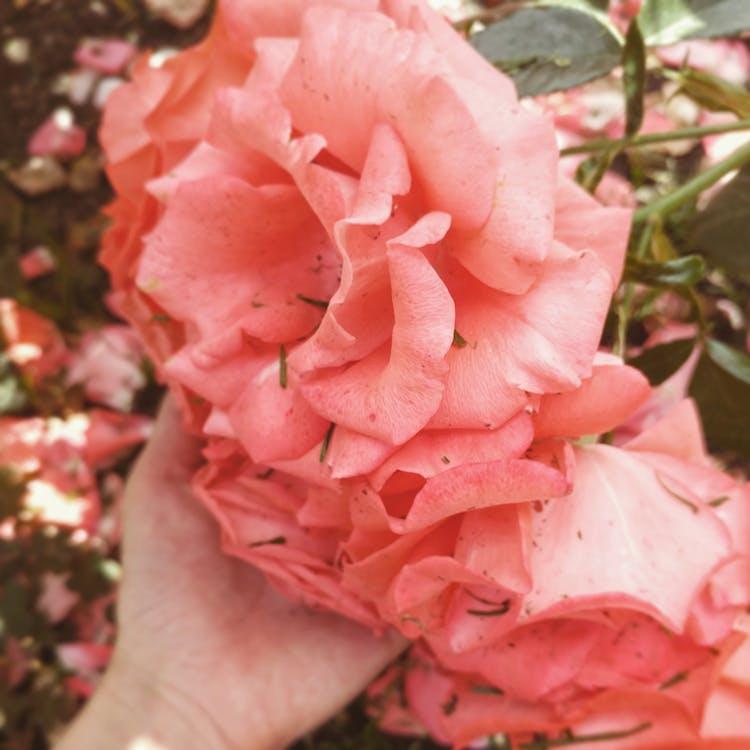 pjnk花, 玫瑰, 粉紅玫瑰