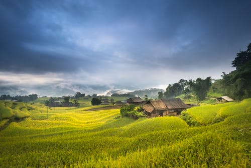 Wooden House Near Rice Field