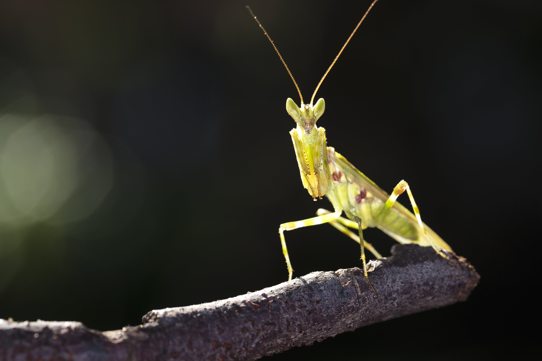 Kostenloses Stock Foto zu gottesanbeterin, grün, insekt, makro-foto