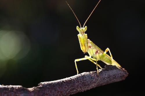 Close-up Photo of Green Praying Mantis
