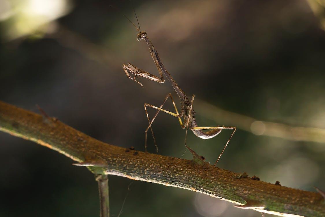 Close-up Photo of Brown Praying Mantis on a Branch