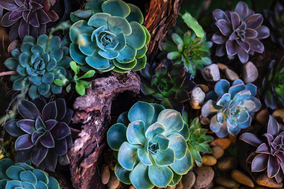 Green and purple succulent plants