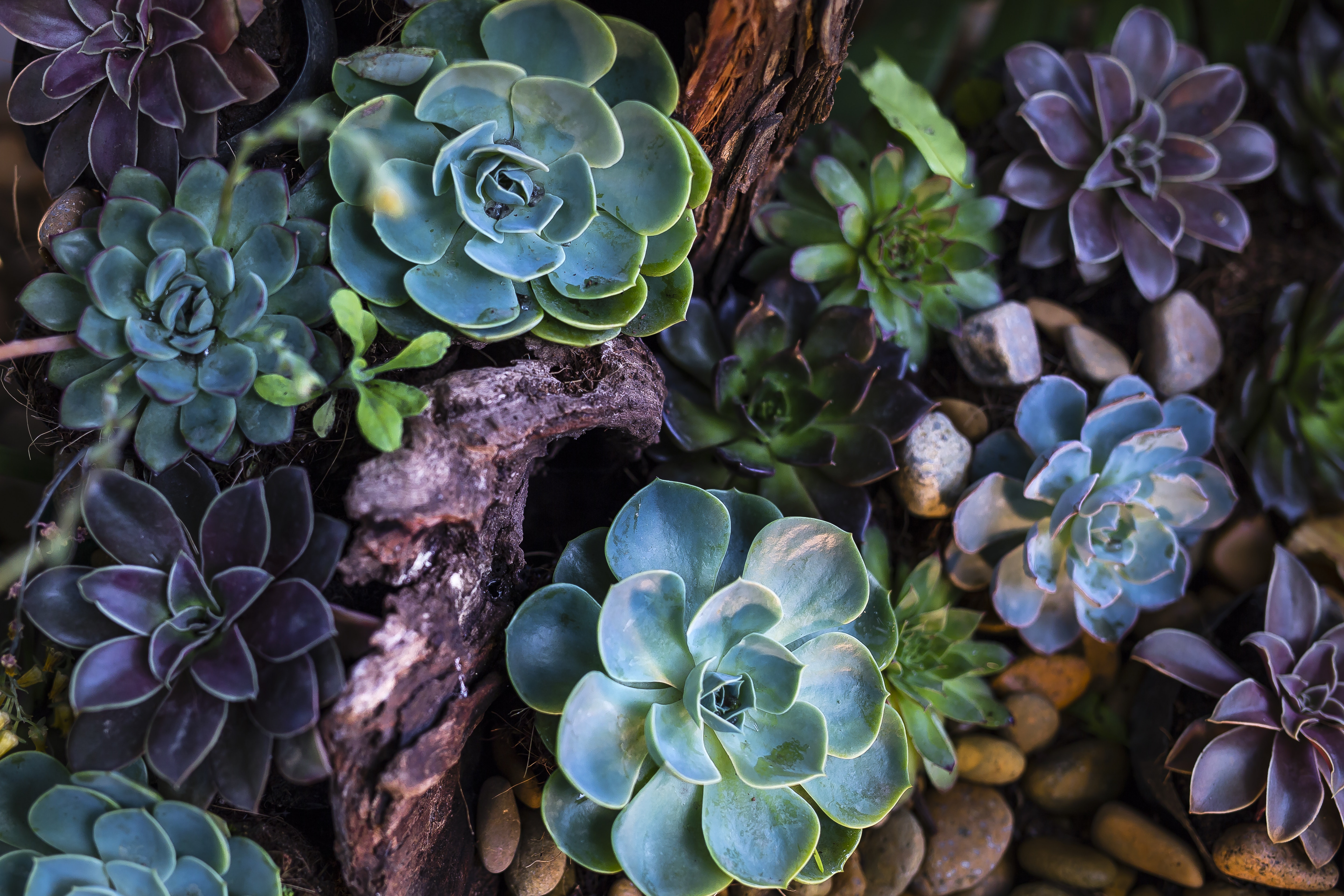 Green And Purple Succulent Plants Free Stock Photo