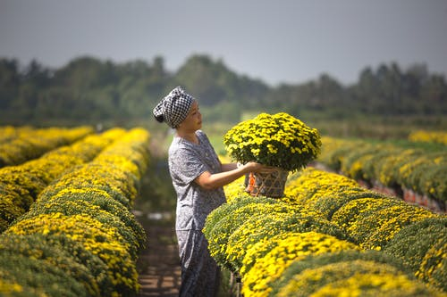 Woman Harvesting Yellow Flowers in Garden