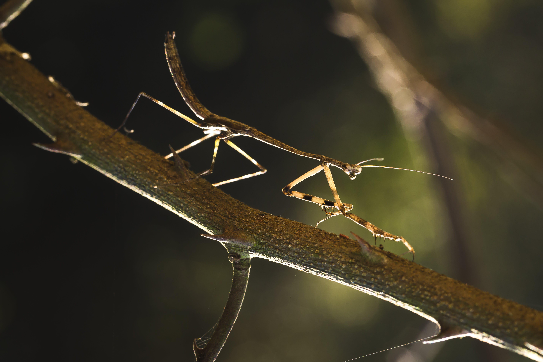Kostenloses Stock Foto zu ast, braun, gottesanbeterin, insekt