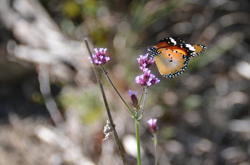 Free stock photo of animals, butterfly on purple flowers, nature