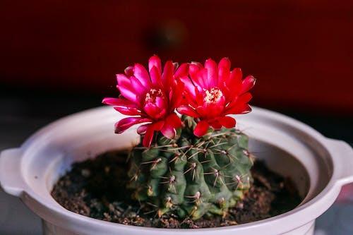Red Flowered Cactus Plant in White Ceramic Pot