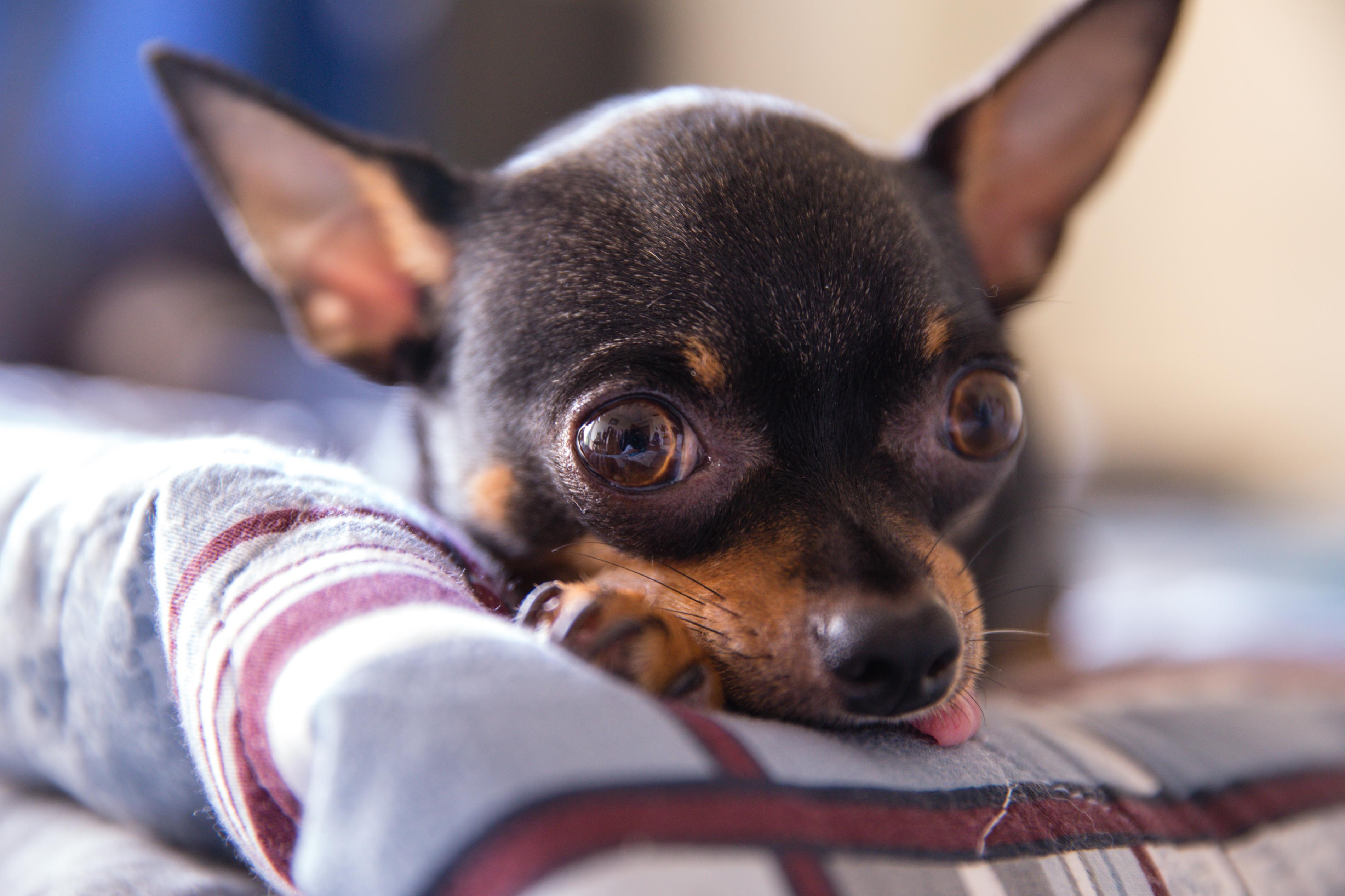 Short-coated Puppt