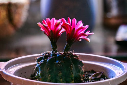 仙人掌植物, 仙人掌花, 多肉植物, 明亮 的 免費圖庫相片