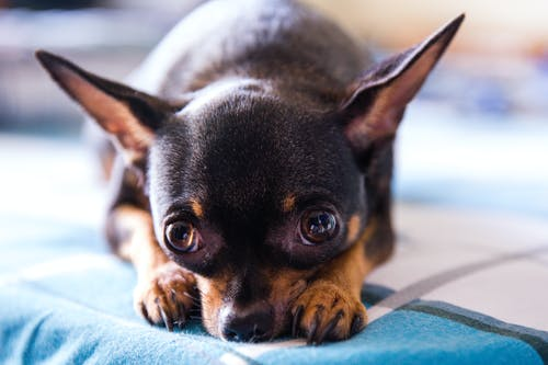 Adult Black and Tan Smooth Chihuahua