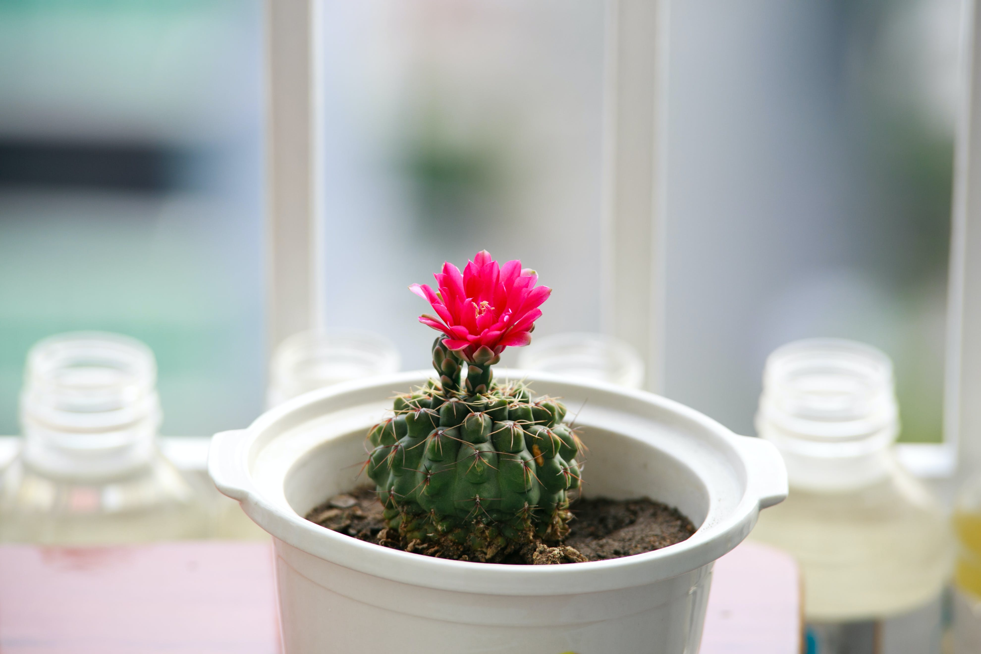 Green Flowering Cactus Potted Plant