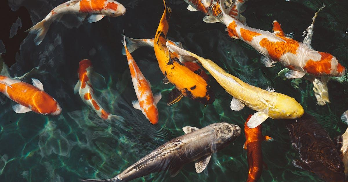 Orange and white koi fish near yellow koi fish free for Koi fish near me